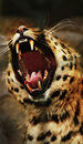 Leopard roar Royalty Free Stock Photo