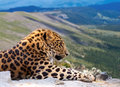 Leopard on rock Stock Photography