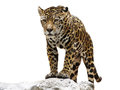 Leopard on the rock isolated of stand Royalty Free Stock Photography