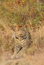 Leopard in Sabi Sand Private Reserve Stock Photo