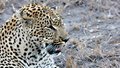 Leopard, Sabi Sands, Kruger National Park Royalty Free Stock Photos