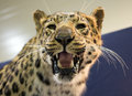 Leopard scary portrait of wild Royalty Free Stock Photography
