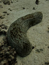 Leopard sea cucumber on Great Barrier Reef Stock Image
