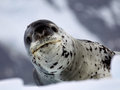 Leopard seal on ice floe in antarctica Stock Photos
