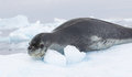 Leopard seal on ice floe in antarctica Stock Images