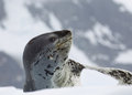Leopard seal on ice floe in antarctica Royalty Free Stock Photography