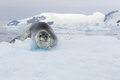 Leopard seal on ice floe in antarctica Stock Photo