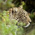 Leopard in the serengeti national reserve Stock Photography