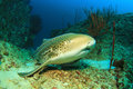 Leopard shark also known as zebra Royalty Free Stock Photography