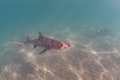 Leopard Shark Royalty Free Stock Photo