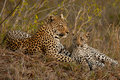 Leopard with sitting cub Royalty Free Stock Photo