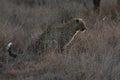 Leopard sitting in darkness hunting nocturnal prey in a spotligh near spotlight Stock Photography