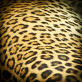 Leopard skin Royalty Free Stock Photo