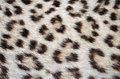 Leopard skin spots Royalty Free Stock Images