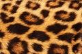 Leopard Skin Spots. Royalty Free Stock Photo