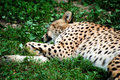 Leopard Sleeping Royalty Free Stock Photography