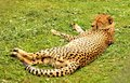 Leopard sleeping after eating on the green grass Royalty Free Stock Photos