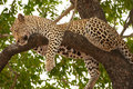 Leopard sleeping on the tree Stock Images