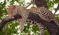 Leopard sleeping on the tree Royalty Free Stock Photo