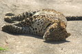 Leopard slipping in a zoo Royalty Free Stock Images