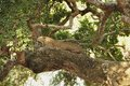 Leopard sri lankan panthera pardus kotiya awaking in this tree here in the wilds of lanka Stock Images