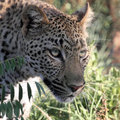 Leopard stalking Royalty Free Stock Photo