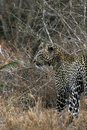 Leopard Stalking Prey Royalty Free Stock Images
