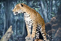 Leopard Standing Royalty Free Stock Photo