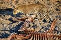 Leopard with a thornicroft giraffe carcass panthera pardus giraffa camelopardalis thornicrofti Stock Photo