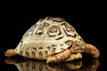 Leopard tortoise albino,Stigmochelys pardalis with white shell Isolated Black Background Royalty Free Stock Photo