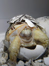 Leopard tortoise baby stigmochelys pardalis hatching from the egg Stock Photography