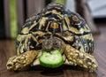 Leopard Tortoise Is Feeding, A...