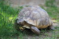 Leopard tortoise the on the grass Royalty Free Stock Image