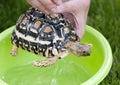 Leopard tortoise daily hygiene geochelone pardalis Stock Image