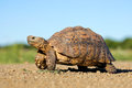 Leopard tortoise or mountain stigmochelys pardalis south africa Stock Photography