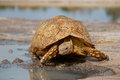 Leopard tortoise or mountain stigmochelys pardalis at a waterhole south africa Stock Image