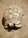 Leopard tortoise a roaming on the african drylands Stock Image