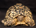 Leopard tortoise the stigmochelys pardalis is a large and attractively marked found in the savannas of eastern and Stock Photo