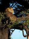 Leopard on a tree Stock Photos