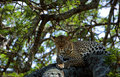 Leopard on a tree. Royalty Free Stock Photos