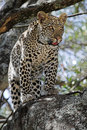 Leopard in Tree Royalty Free Stock Photo