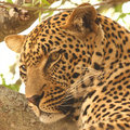 Leopard in a tree Royalty Free Stock Photography