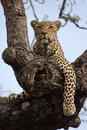 Leopard in tree looking alert Stock Images
