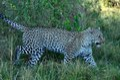 Leopard Walk in the Shadows Tom Wurl Royalty Free Stock Photo