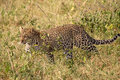 Leopard walking in the grass panthera pardus bush serengeti national park tanzania Royalty Free Stock Photos