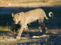 Leopard walking out from the shade into the sunlight Royalty Free Stock Images