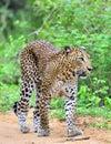 Leopard walking on a sand road. The Sri Lankan leopard Panthera pardus kotiya. Yala national Park. Sri Lanka Royalty Free Stock Photo