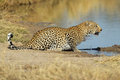 Leopard at waterhole Royalty Free Stock Photography