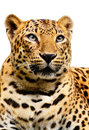 Leopard on white background in a zoo Royalty Free Stock Photo