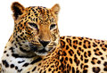 Leopard on white background in a zoo Royalty Free Stock Photography